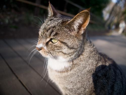 サンプル用 猫